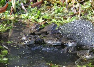 Thumbnail for the post titled: Have you spotted any frog or toad spawn?